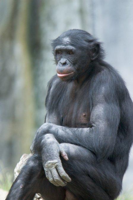 Bonobo(davideppstein)