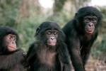 Bonobos 4